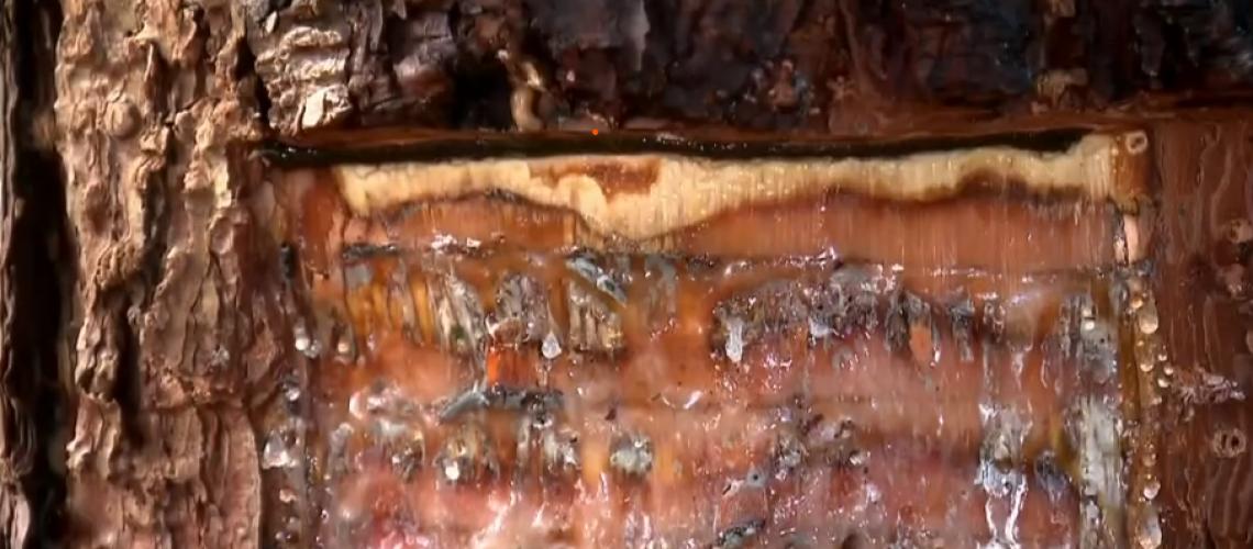 Do chiclete a remédios, conheça a versatilidade da resina de pinus